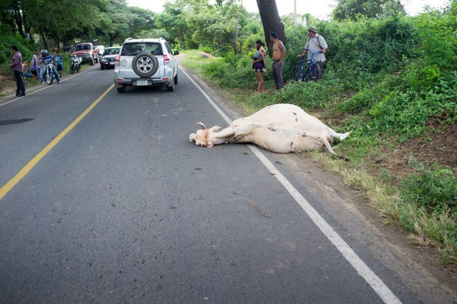Nica road kill